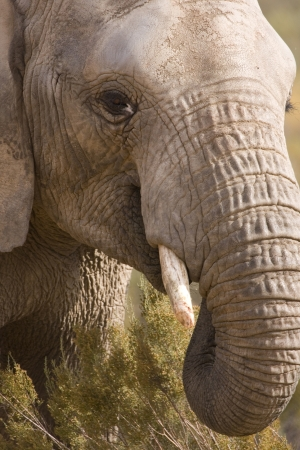 big game: Close up of African Elephant. Head shot of elephant feeding. Shows the rough thick skin & beautiful eyes. Stock Photo