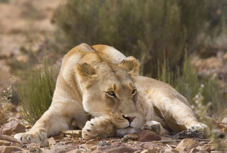 Female Lion sunbathes in afternoon sun. She is lying on the ground with her head resting on her front paw. South Africa.