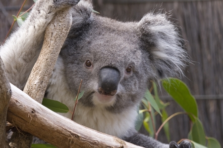 Close up of Koalas head as it looks from the branches. Koala is holding on to branches with one arm & looking directly at the camera. Australia. Stock Photo