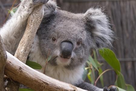koala: Primer plano de la cabeza de koala como se ve desde las ramas. Koala se est� aferrando a las ramas con un brazo y mirando directamente a la c�mara. Australia.