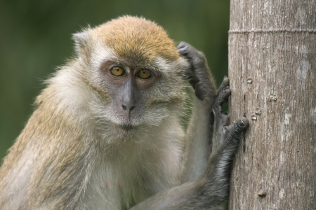 Monkey in the wild leaning against a tree trunk & scratching its head. It has a thoughtful expression, Malaysia photo