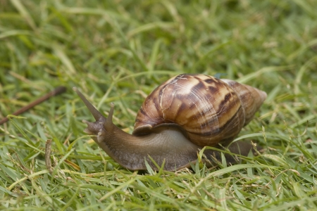 ineffective: Close up of Snail in the grass. Snail has a beautifully patterned brown shell.