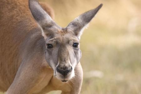 roo: Close up of a Kangaroo