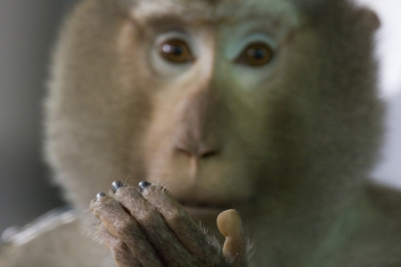 Monkey holds up his hand showing its very human like fingers, which is the focus of the image  Thailand Stock Photo - 16267286