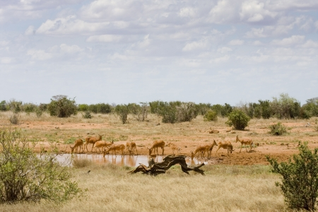 Antelopes surrounding a watering hole taking a drink  Landscape has red earth   sparse bushes, Tsavo East, Kenya  Stock Photo - 16267279