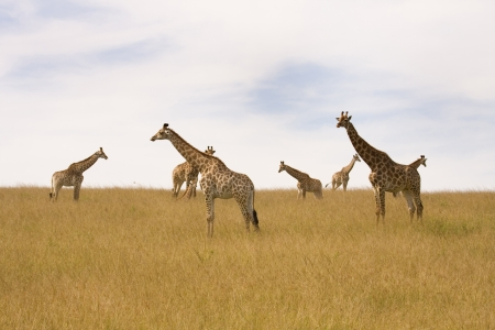 Herd of seven giraffes are standing on the open plains, South Africa. Stock Photo