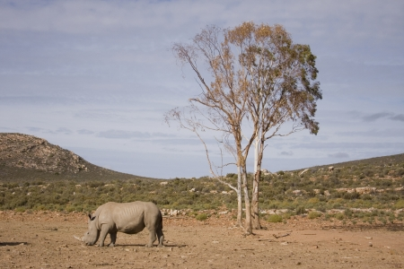 aquila: Single white rhino standing below the only tree on the open plains, South Africa.
