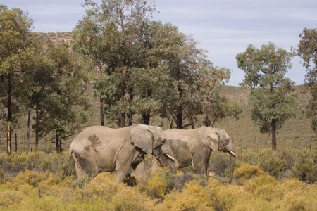 aquila: Pair of african elephants taking a walk over low bush land and very dry landscape. South Africa.