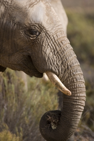 Close up profile of an elephants head showing its trunk & head. Outskirts of Cape Town, South Africa. Stock Photo - 16267274