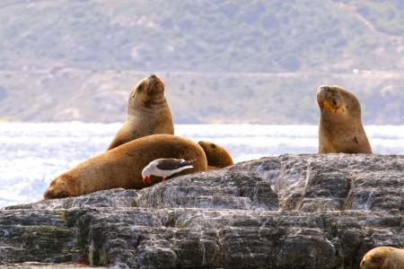 del: Sea Lion   Sea birds in Beagle channel, Tierra del Fuego, Patagonia  Stock Photo