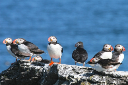 Flock of eight puffins stand on a rock with the ocean , Iceland photo