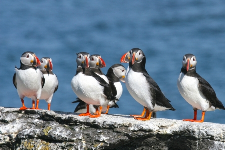 Flock of puffins stand on a rock, Iceland Stock Photo