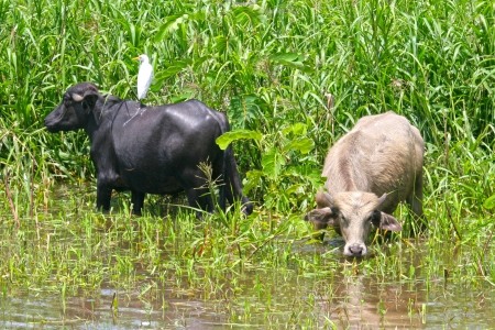 Cattle graze by the banks of the Amazon, Brazil Stock Photo