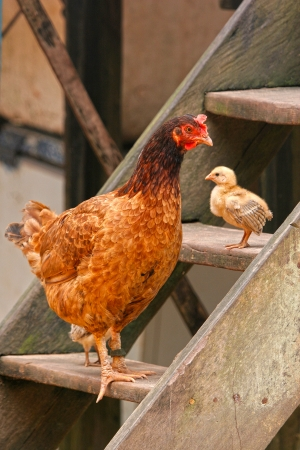 red hen: Hen   Chick stand on wooden steps, Brazil