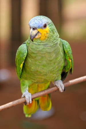 fine legs: Green parrot sits on a branch, Amazon, Brazil