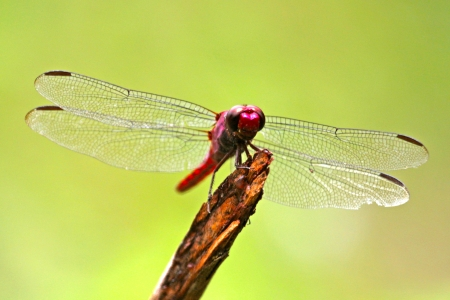 dragonfly wing: Dragonfly rests on a twig, Brazil