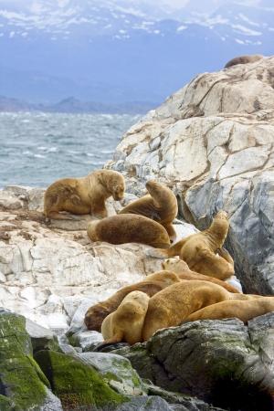 tierra: Southern Sea lions resting on the Islands of Tierra Del Fuego, Ushuaia, Argentina
