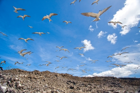 sooty: Sooty terns flying above breeding grounds, Ascension Island