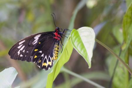cairns: Cairns Birdwing  Omithoptera euphorion  butterfly, Cairns, Australia