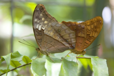 Mating Brown butterflies, Cairns, Australia photo