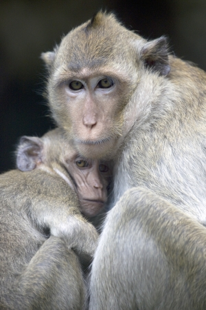 protects: Mother monkey protects its young