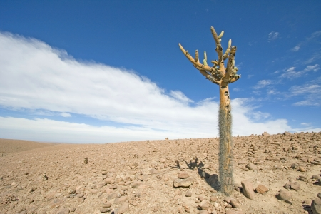 high desert: Candelabra Cactus  Browningia candelaris  in the Atacama Desert, Chile Stock Photo
