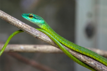 Green Tree Snake waiting on a branch  photo