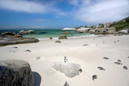 African Penguins on Boulders Beach, South Africa photo