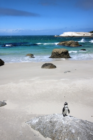 African penguin on Boulders Beach, South Africa photo