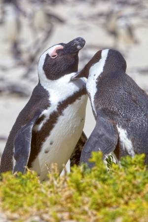 A pair of African Penguins groom each other, on Boulders Beach, South Africa photo