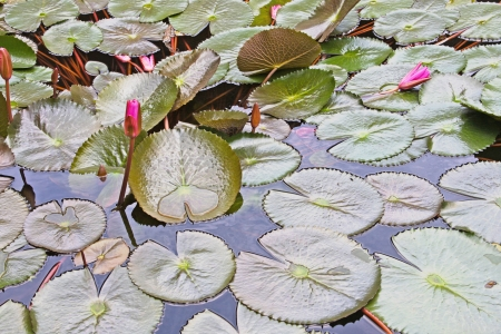 water lilly: Lily pads, floating on a pond, Japan