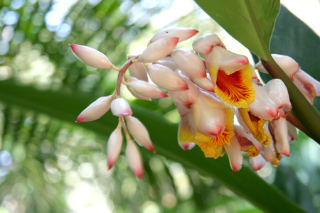 ginger flower plant: Alpinia zerumbet, commonly known as shell ginger  A white flower with yellow interior   pink tips on the buds  Stock Photo