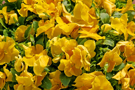 Flowerbed of yellow pansies in bloom  photo