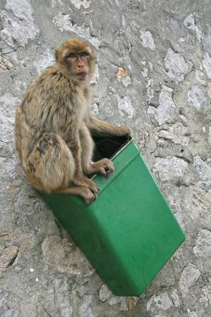 barbary ape: Barbary ape sits in a green rubbish bin, Gibraltar, UK