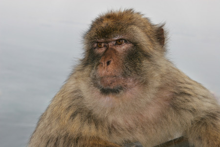 barbary ape: Barbary ape looks out to sea, with a concerned expression Gibraltar, UK