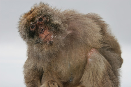 barbary ape: Barbary ape stands sideways with a quizzical expression, Gibraltar, UK