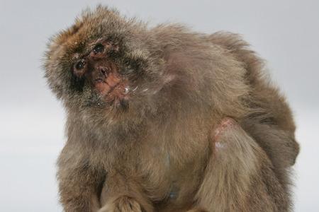 quizzical: Mono de Berber�a est� de lado con una expresi�n burlona, ??Gibraltar, Reino Unido