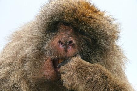barbary ape: Barbary ape feeds himself, Gibraltar. Stock Photo
