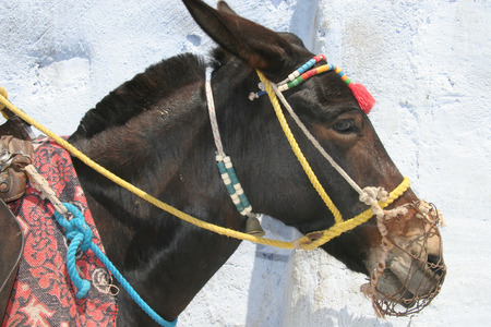 Paitent donkey waits for riders to take up the mountain, Oia, Santorini, Greece. photo