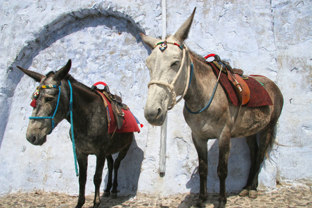 Two donkeys wait for riders to take up the mountain, Oia, Santorini, Greece. photo