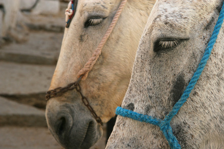Close up of two donkeys wait for riders to take up the mountain, Oia, Santorini, Greece. photo