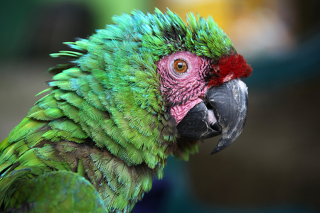 Scruffy green macaw with green blue feathers & pink & red markings on face, Santa Marta, Colombia. Stock Photo