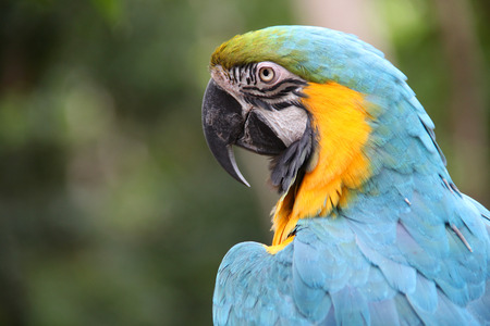Yellow & Blue Macaw parrot with green background, Roatan, Honduras, Central America. Stock Photo