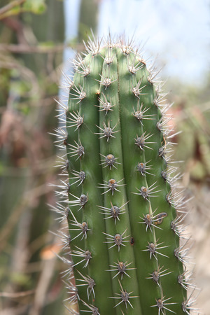 Close up of cactus in the outback, Aruba, Caribbean.