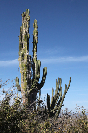 Cactus in the outback, Cabo San Lucas, Baja California Sur, Mexico.