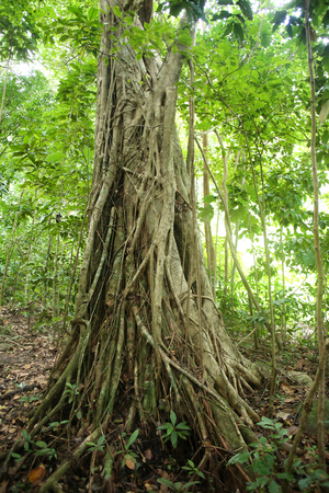 Strangler fig vine covers a tree in the rain forest, St Lucia, Caribbean.