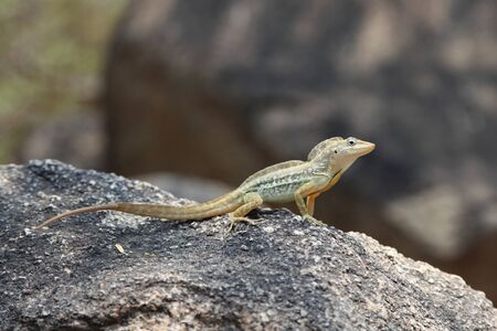 Anolis lineatus or striped anole lizard on a rock, Aruba, Caribbean.