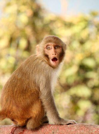 Surprised Monkey at the Swayambhu Nath temple, Kathmandu, Nepal. Stock Photo