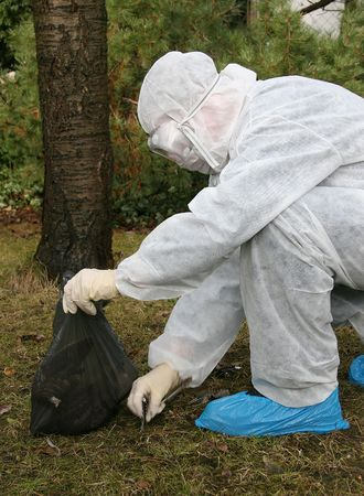 A man in an overall plucking the feathers of a bird's corpse and putting them in a plastic bag to be analysed for bird flu (Germany).