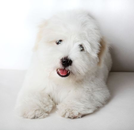 bred: A pure-bred puppy of the uncommon breed Coton de Tuléar which is becoming popular. Aged 3 months, of the Maltese sort. Stock Photo